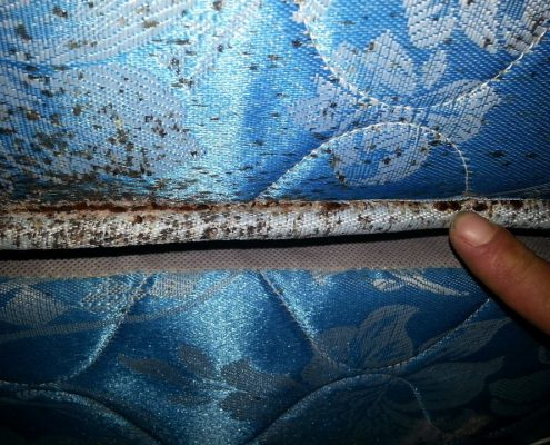 Bed Bugs in Mattress