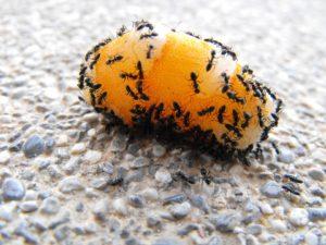 common ants illiniois