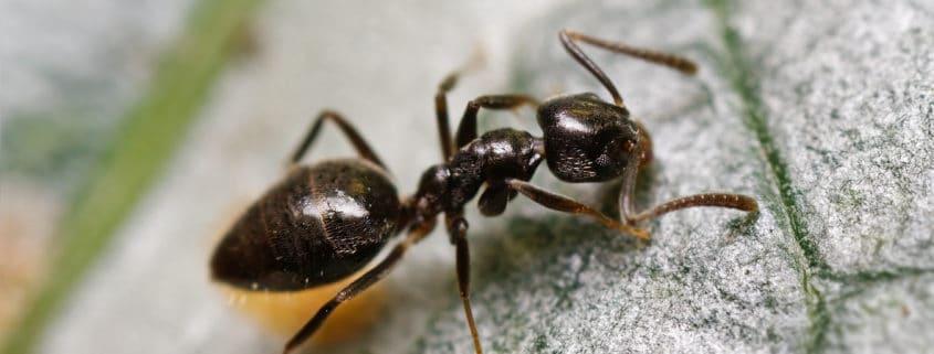 common ants il