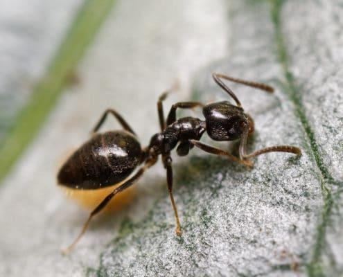odorous ants pest control
