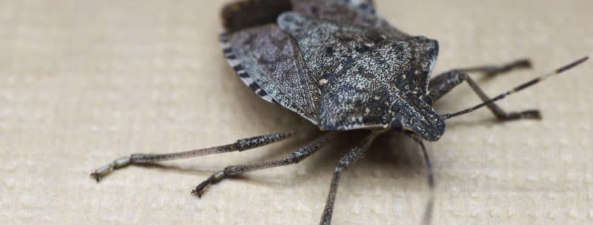 brown marmorated stink bug pest control il