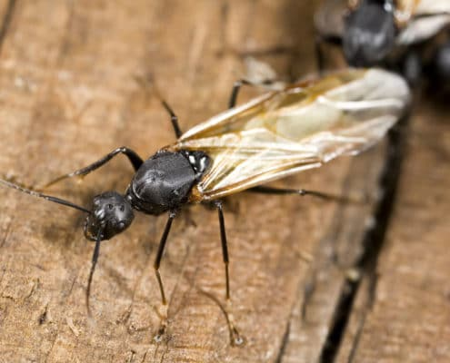 carpenter ants pest control il - ant problems