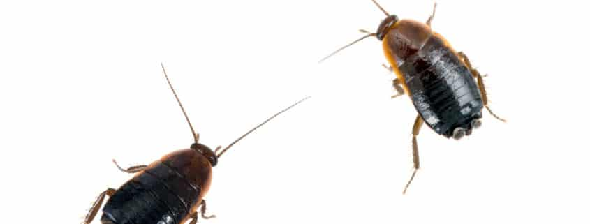 oriental cockroaches-pest-control-il