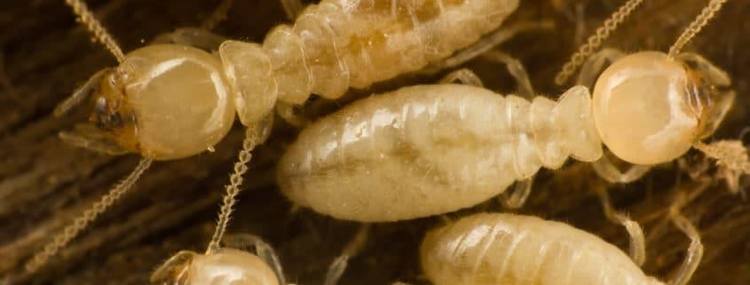 eastern subterranean termites pest control il