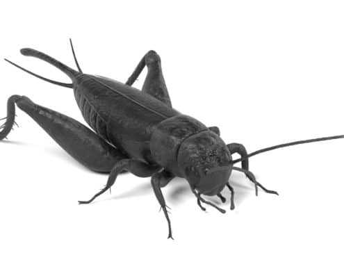 field-cricket-pest-control-il-cricket-problem