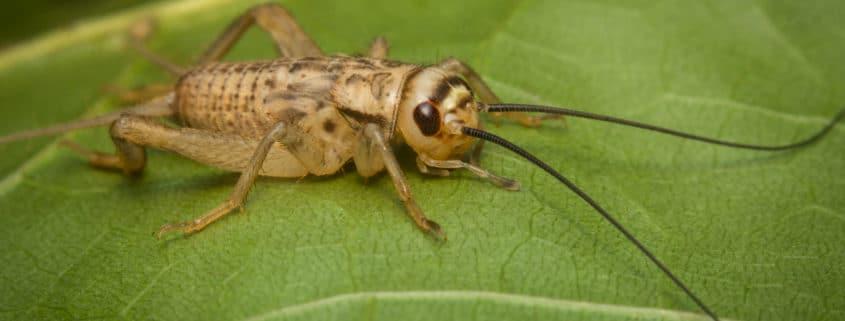 house crickets pest control il - cricket problems
