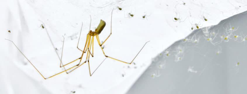 long bodied cellar spiders pest control il