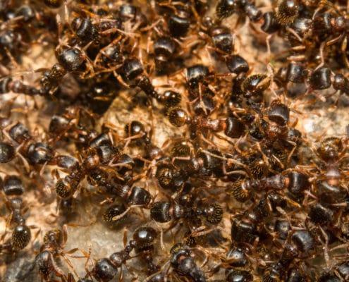 pavement ants pest control