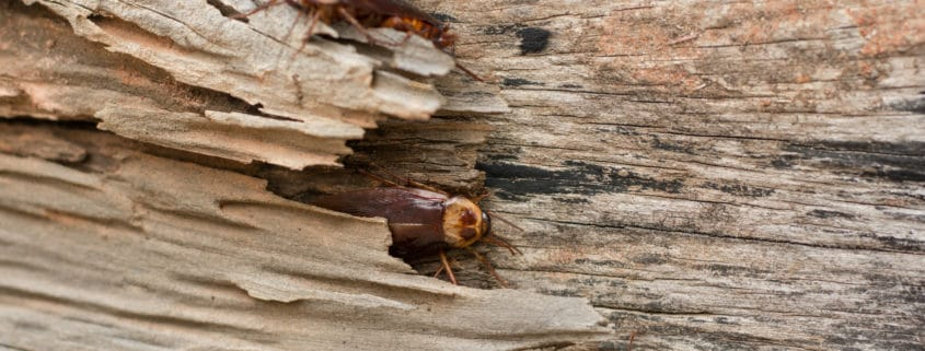 pennsylvania wood cockroaches pest control