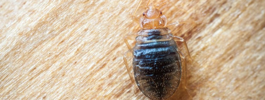 bed bugs pest control il - bed bug problems - bed bug bites
