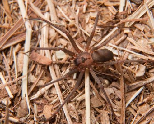 dangerous spiders of illinois pest control il